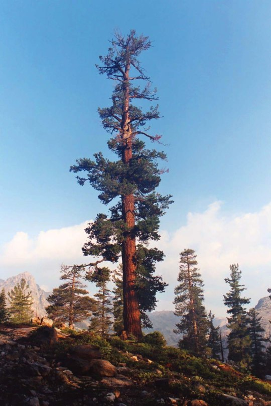 Beauty in the Sierra Nevada Mountains comes in many forms, such as this Red Fir giant I found on Seavey Pass.