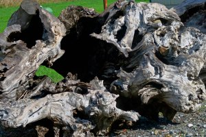 Redwood roots on display along California's Highway 101.