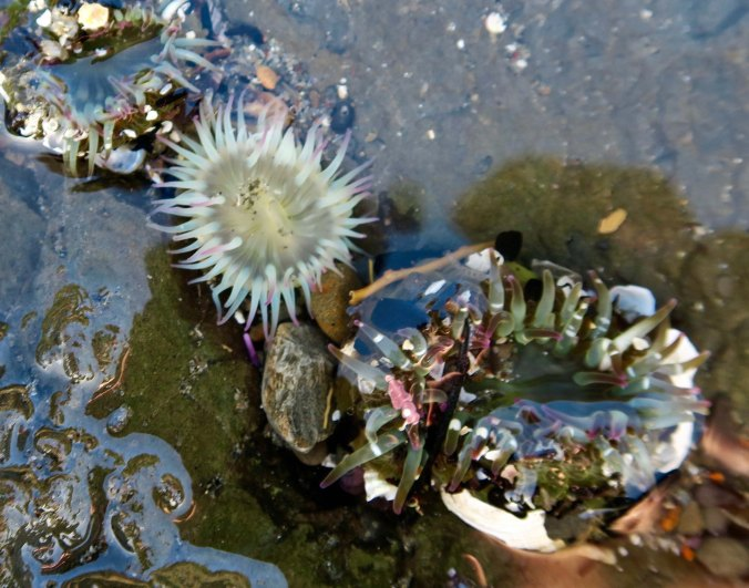 Sea anemones found in a tide pool at Sunset Bay on the Oregon Coast near Coos Bay.