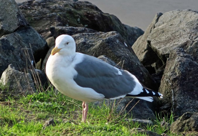 Seagull at Sunset Bay on the Oregon Coast near Coos Bay.