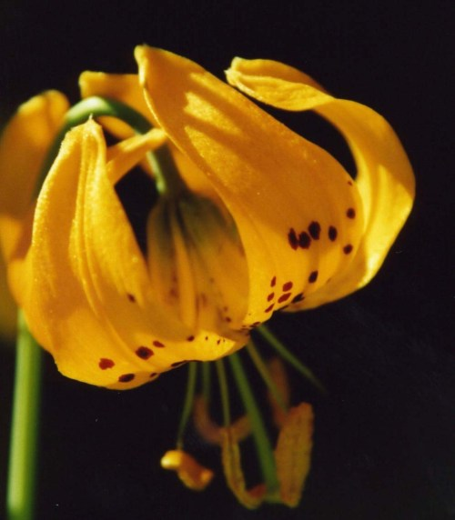 And Tiger Lilies.