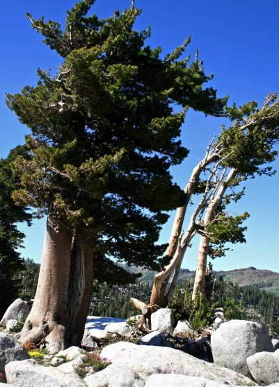 Lodge Pole Pines found in the Granite Chief Wilderness of the Sierra Nevada Mountains.