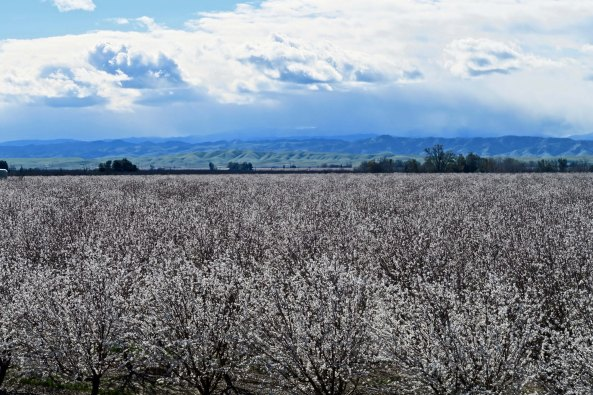 The Sacramento Valley was filled with blooming fruit trees.