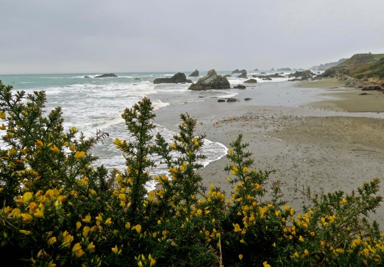 Scotch Broom photo at Harris Beach State Park near Brookings, Oregon.