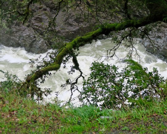 Peggy took this shot of the turbulent Smith River on our way home. She really like the contrast of the green moss growing on the oak tree.