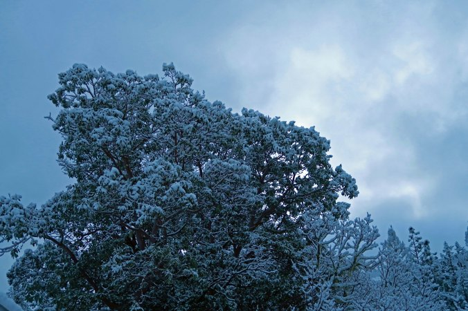The Madrone in our backyard had a new coat of snow.