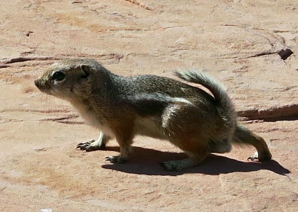 Squirrel at White Domes in Valley of Fire State Park near Las Vegas, Nevada.
