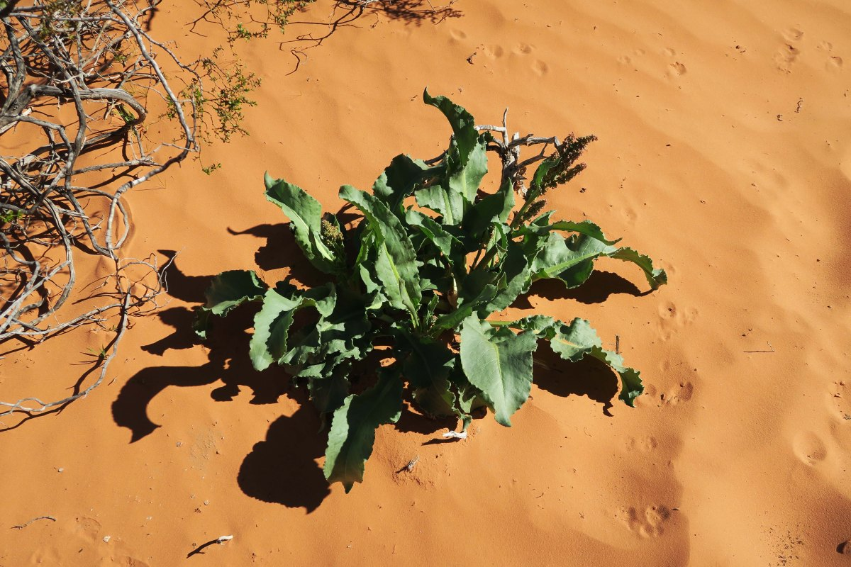 Plant in sand near Atlatl Rock in Valley of Fire State Park, Nevada.