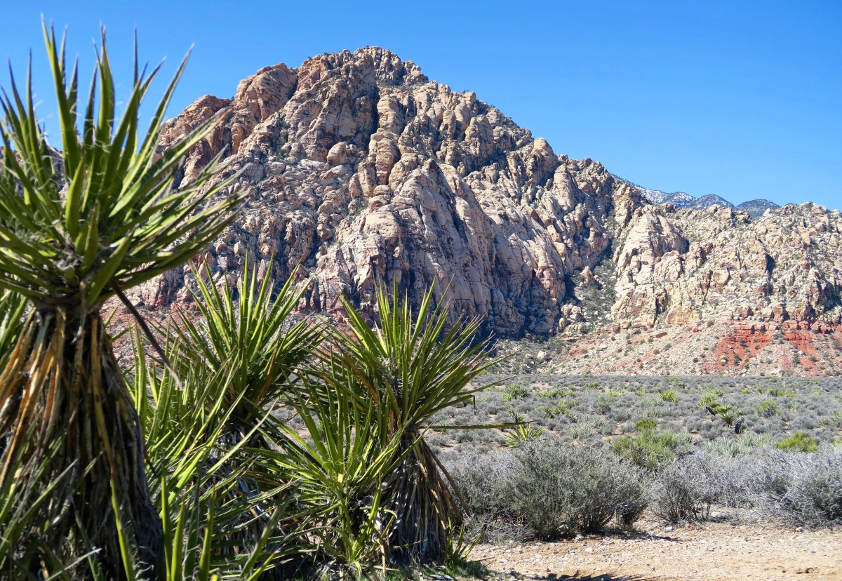 Yucca and a mountain in Red Rock Canyon National Conservation Area.