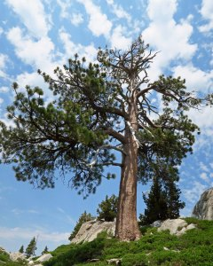 Jeffrey Pine in Five Lakes Basin of Grouse Ridge Non-Motorized area.
