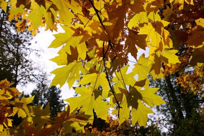 Big Leaf Maple in Jacksonville, Oregon