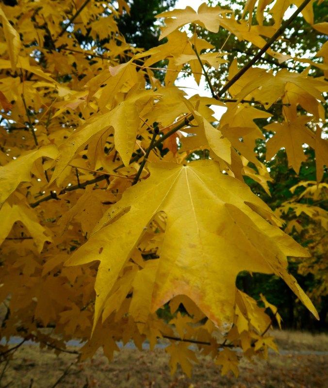 Big leaf maple in Southern Oregon