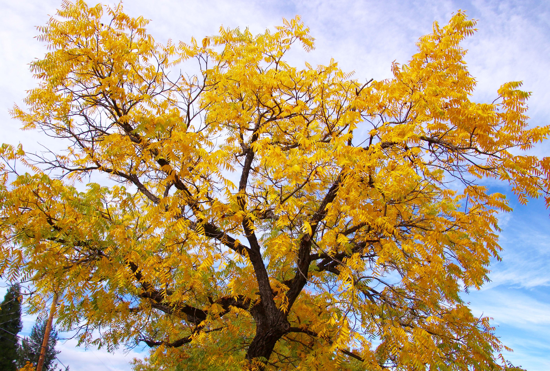 Black walnut tree in fall, Jacksonville, Oregon