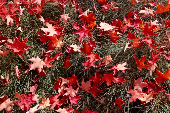 Fall leaves on grass in Jacksonville, Oregon
