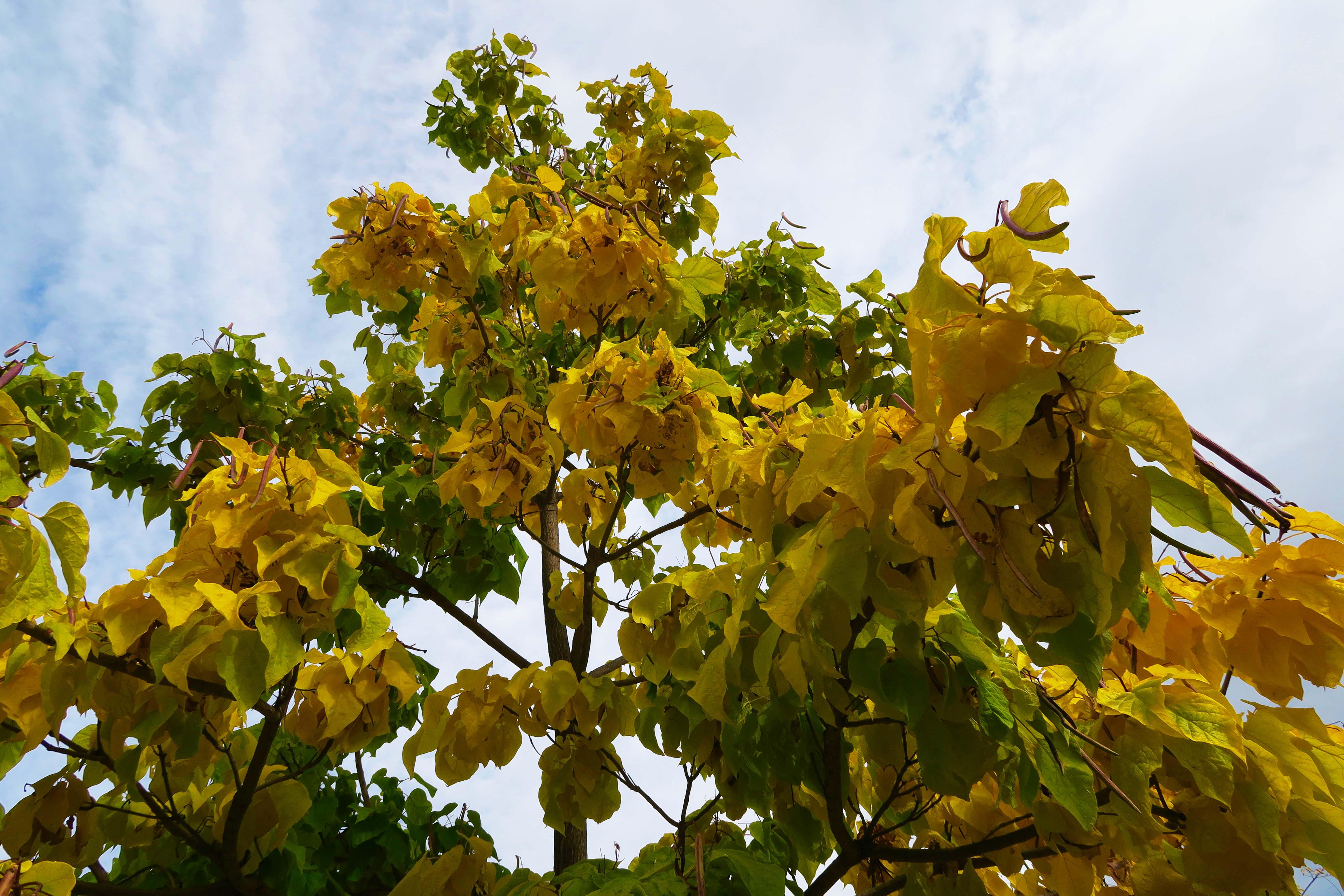 Fall tree in Jacksonville, Oregon
