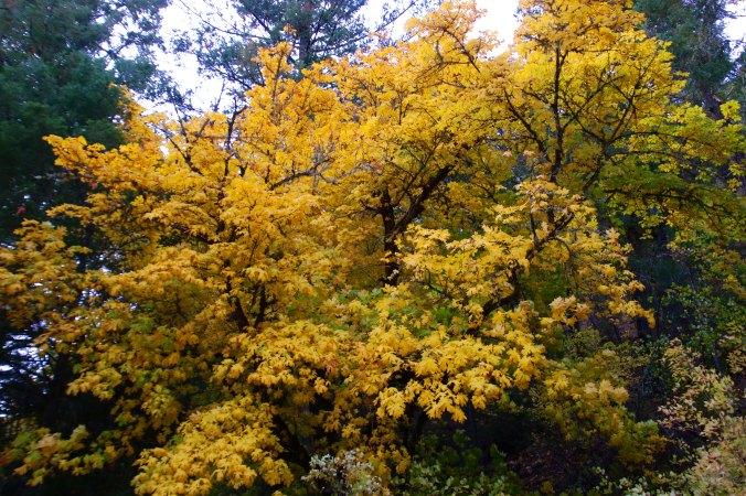 Fall tree near McKee Bridge on Applegate River, Oregon