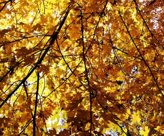 Light and shadows in fall leaves, Jacksonville, Oregon