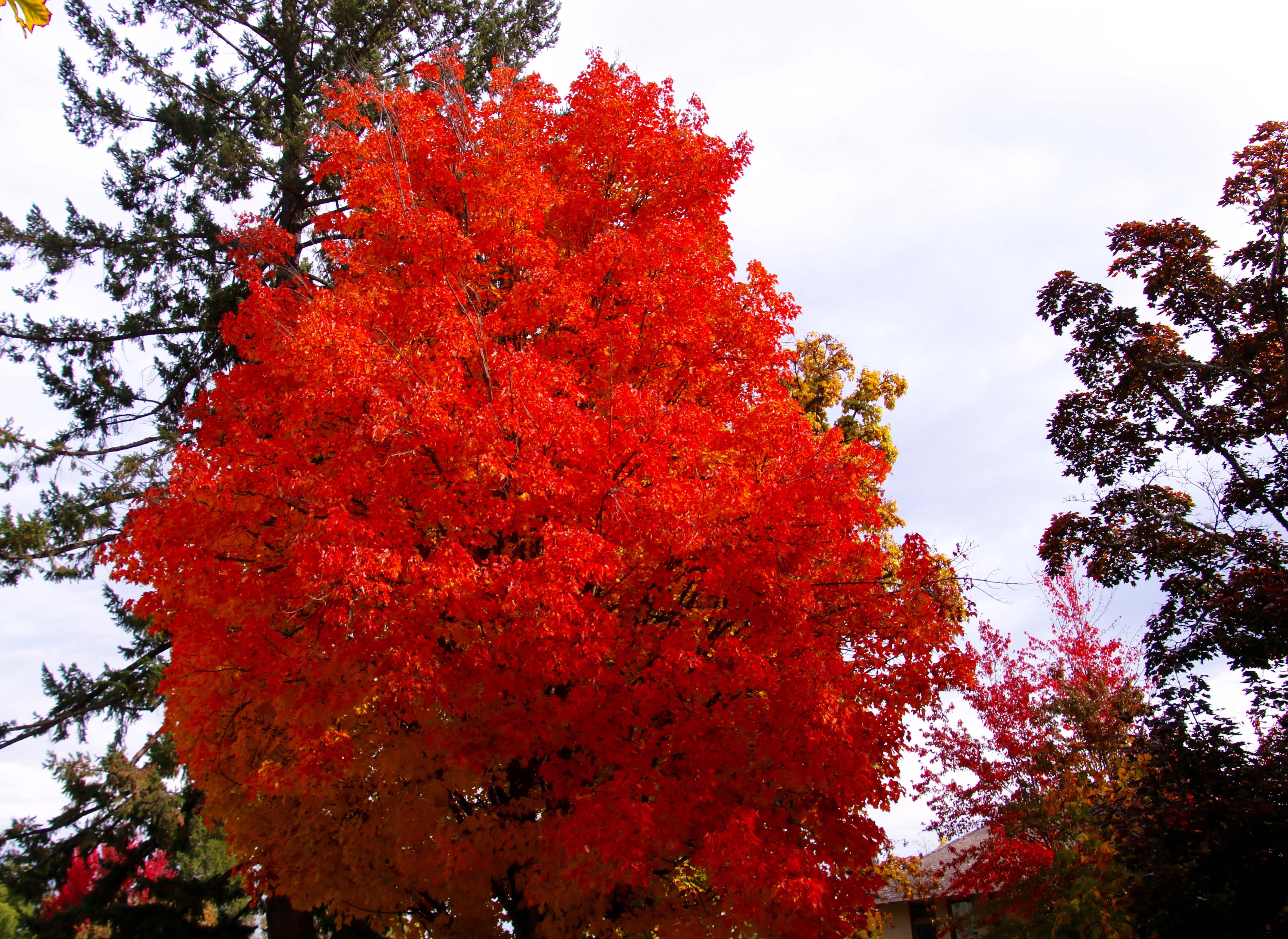 Orange fall leaves in Jacksonville, Oregon