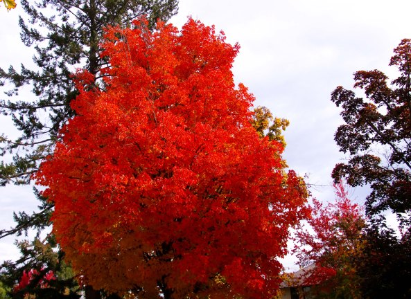 Orange fall leaves in Jacksonville, Oregon