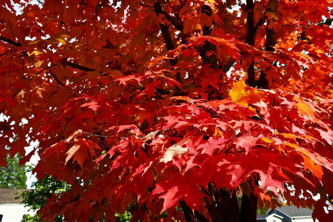 Red fall colors in Jacksonville, Oregon