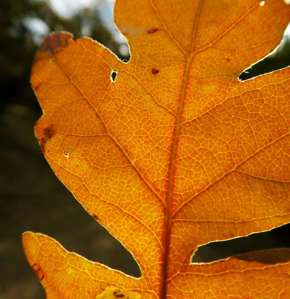 White oak leaf in Applegate Valley, Oregon