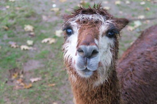 Brown alpaca 3