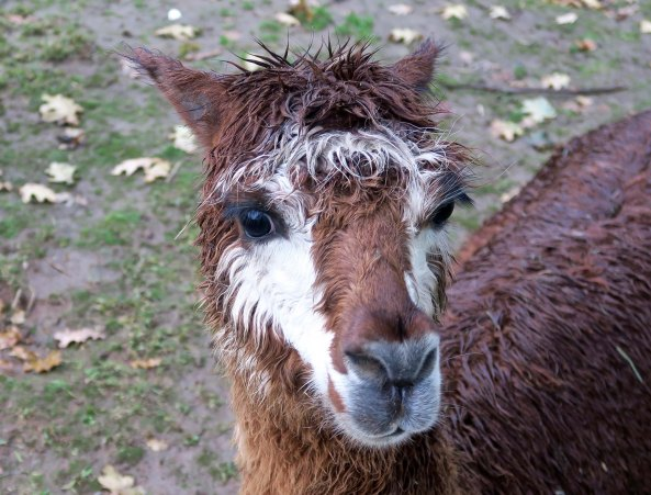 Brown alpaca 4