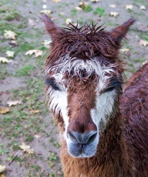 Brown alpaca 5