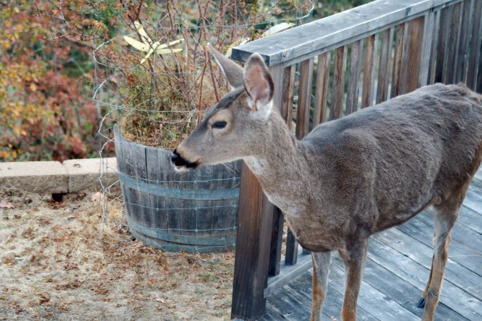 Doe checks out pumpkins