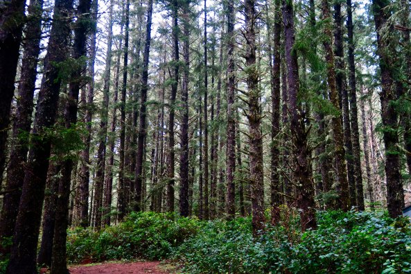 Sitka Spruce forest at Cape Meares