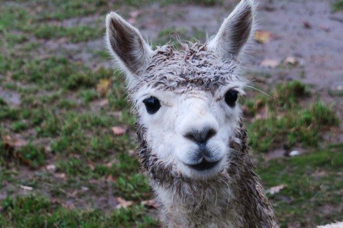 White alpaca 2