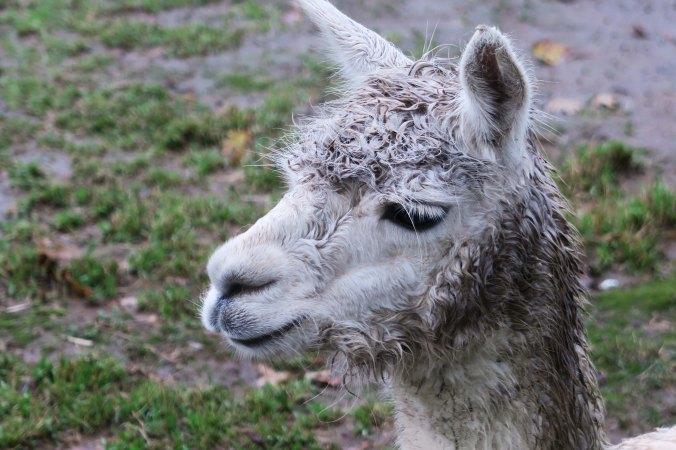 White alpaca 3