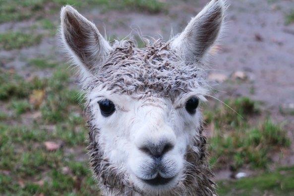 White alpaca 4