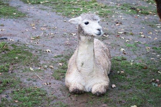 White alpaca 7