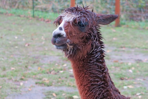 Wild hair alpaca 1