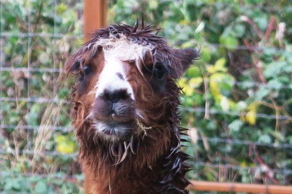 Wild haired apaca 2