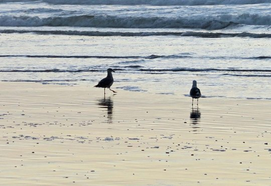 A seagull steps out at Rockaway Beach, Or