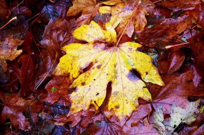 Fallen leaves along trail to Munson Creek Falls near Tillamook, Oregon.