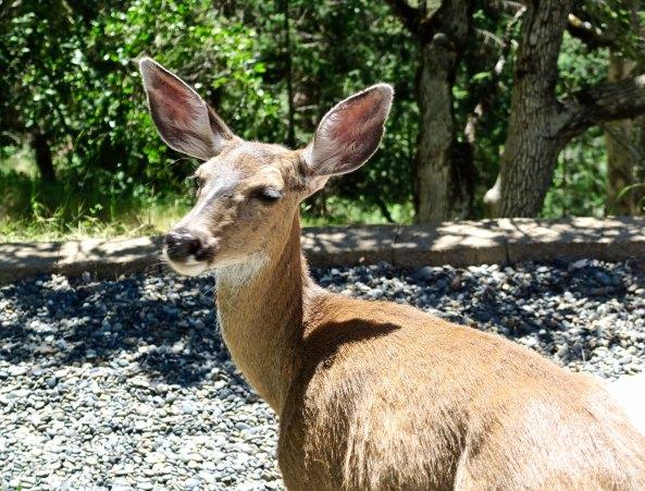Blacktail deer in Mekemson yard on upper Applegate River