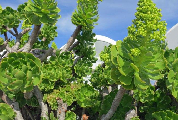 Bright green plants on Santorini