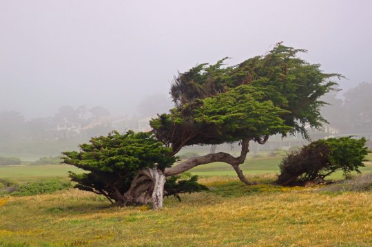 Cypress on 17 Mile Drive