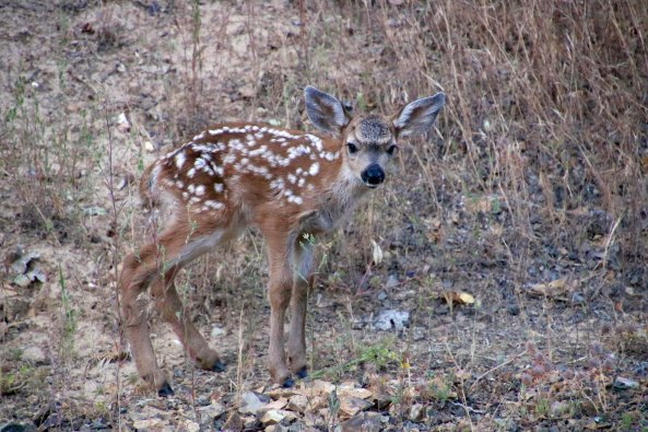 Fawn on our property