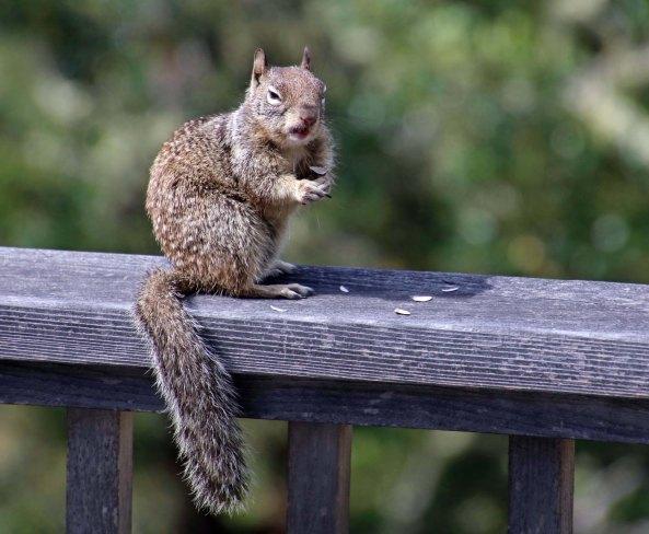 Ground squirrel with attitude