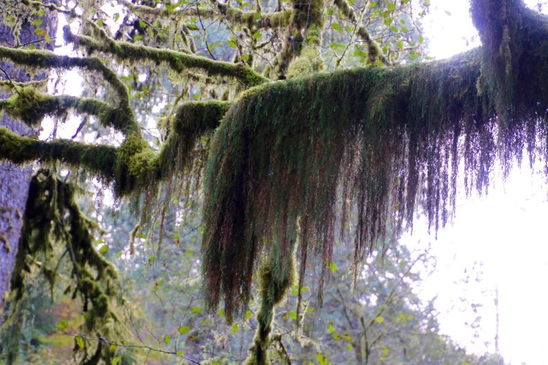 Hanging moss at Munson Creek Falls near Tillamook, Oregon.