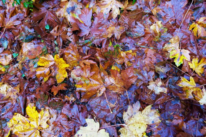 Fall leaves along trail to Munson Creek Falls near Tillamook, Oregon. Photo by Curtis Mekemson.