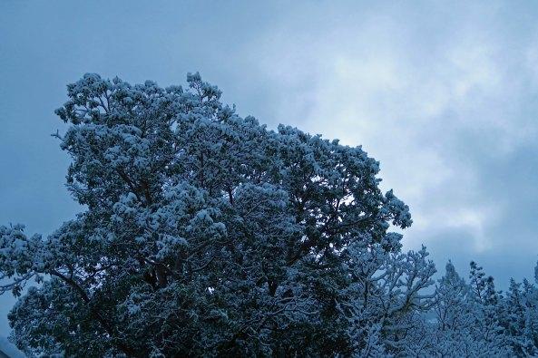 Madrone tree in Mekemson back yard