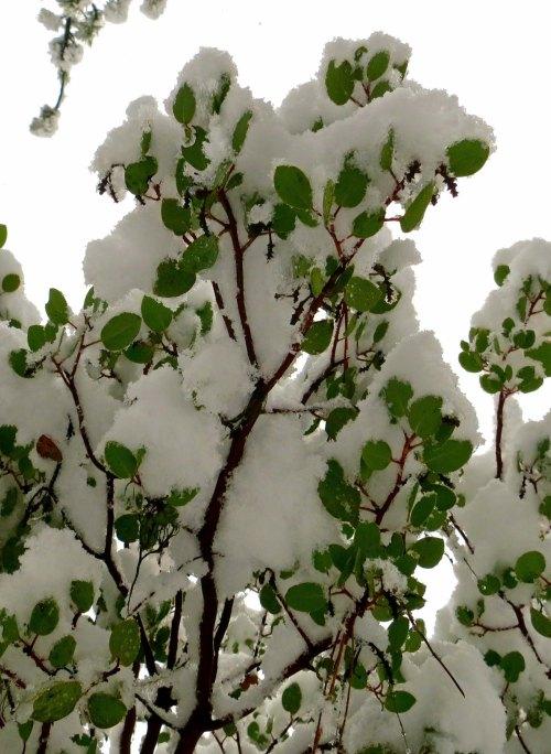 Manzanita in snowstorm