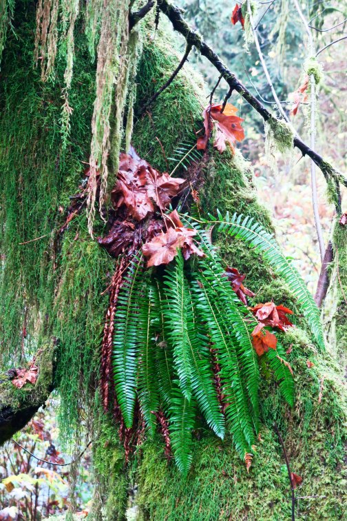 Moss, ferns and leaves on a tree near Munson Creek Falls near Tillamook, Oregon. Photo by Curtis Mekemson.