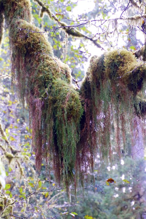 Moss draped across branch along trail to Munson Creek Falls on the north coast of Oregon.