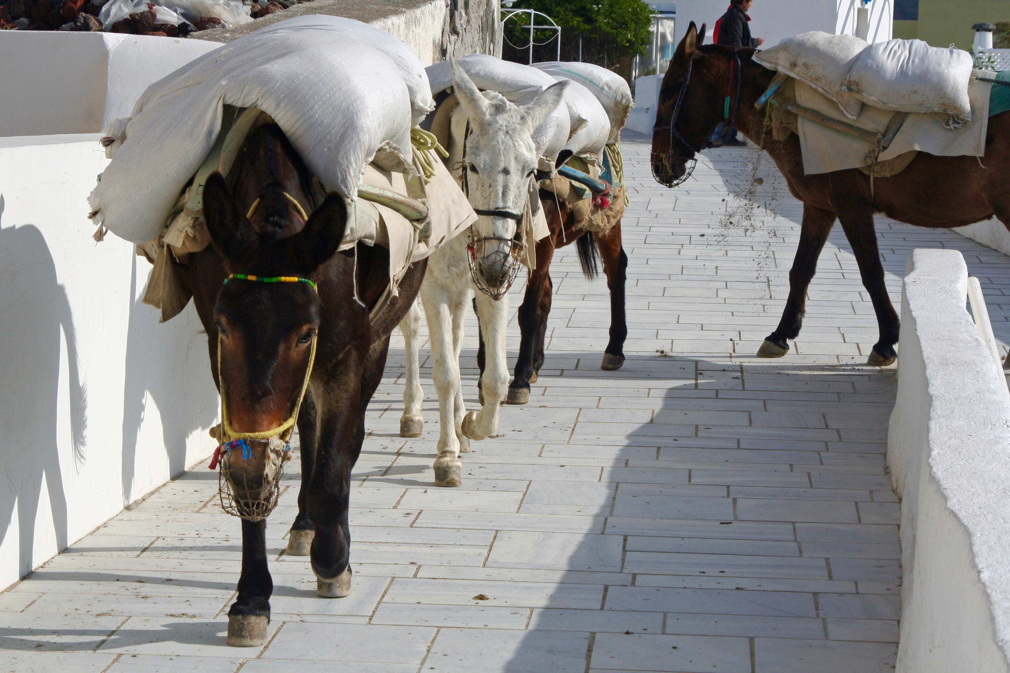 Mules in Santorini